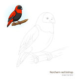 Northern red bishop bird learn to draw vector Stock Images
