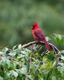 Northern Red Cardinal. Male, North America`s most colorful bird, perched on a backyard crabapple tree. Cardinalis cardinalis royalty free stock image