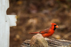 Northern Red Cardinal stands on old barn lumber. Cardinal bird at a feeder stock photo