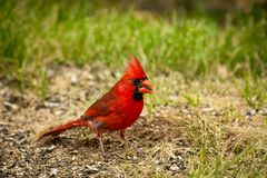 Northern Red Male Cardinal. Eating a sunflower seed in the yard royalty free stock photography
