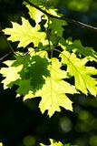 Northern red oak Royalty Free Stock Images