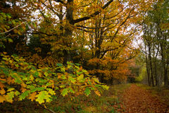 Northern red oaks in autumn Stock Photos