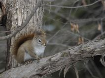 Northern Red squirrel chattering from a safe distance royalty free stock photos