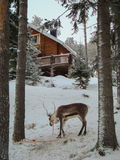 Northern reindeer between the pines. Near the house Royalty Free Stock Image