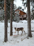 Northern reindeer. Between the pines near the house Royalty Free Stock Photos