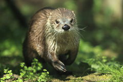 Northern river otter Stock Image