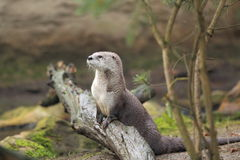 Northern river otter. On the wood Stock Images