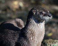 Northern River Otter. Close-up portrait of a wet Northern River Otter Royalty Free Stock Photography