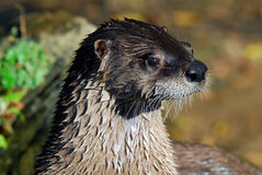 Northern River Otter. Close-up portrait of a wet Northern River Otter Royalty Free Stock Photos