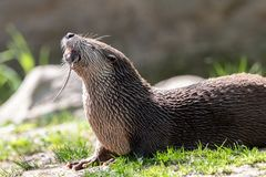 Northern river otter eating grey rat royalty free stock photo