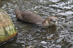 Northern river otter Royalty Free Stock Photos