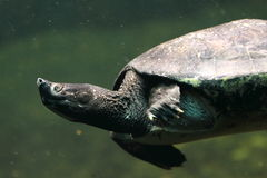 Northern river terrapin royalty free stock photo