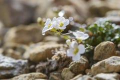 Northern Rock-cress flower - Arabidopsis petraea stock image