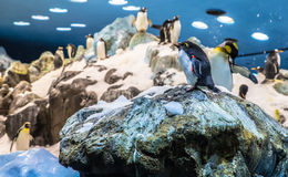 Northern Rockhopper Royalty Free Stock Photo