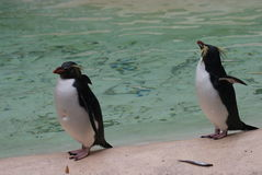 Northern Rockhopper Penguin - Eudyptes moseleyi Stock Photo