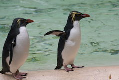 Northern Rockhopper Penguin - Eudyptes moseleyi Royalty Free Stock Photos