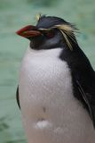Northern Rockhopper Penguin - Eudyptes moseleyi Stock Image