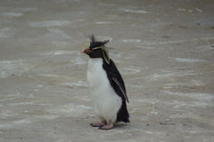 Northern Rockhopper Penguin - Eudyptes moseleyi Stock Photos