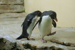 Northern rockhopper penguin (Eudyptes moseleyi). Royalty Free Stock Image