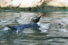 Northern rockhopper penguin Royalty Free Stock Photography