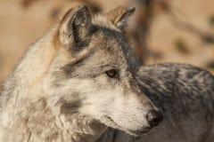 Northern Rocky Mountains wolf, Canis lupus irremotus royalty free stock photo