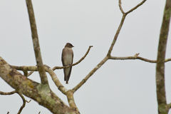 Northern Rough-Winged Swallow Looking over Shoulder Stock Photography