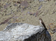 Northern Rough-winged Swallow on a Rock Stock Image
