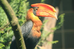 Northern rufous hornbill Royalty Free Stock Image