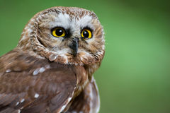 Northern saw-whet. A closeup of a northern saw-whet owl Royalty Free Stock Image