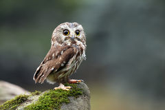Northern Saw-Whet Owl Royalty Free Stock Photography