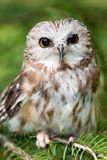 Northern Saw-Whet Owl Royalty Free Stock Photos