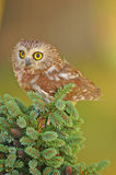 Northern Saw-whet Owl Stock Photography