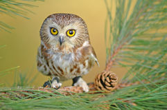 Northern Saw-whet Owl (Aegolius acadicus) Royalty Free Stock Image