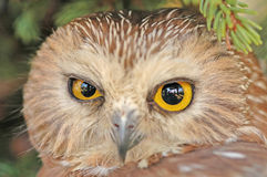 Northern Saw-whet Owl (Aegolius acadicus) Royalty Free Stock Photos