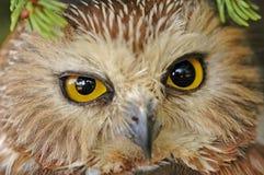 Northern Saw-whet Owl (Aegolius acadicus) Royalty Free Stock Photography