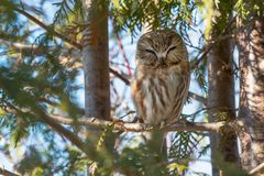Northern Saw-whet Owl - Aegolius acadicus. A Northern Saw-whet Owl is perched on a branch of a cedar tree. Tommy Thompson Park, Toronto, Ontario, Canada stock photography