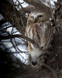 Northern Saw-whet Owl, Aegolius acadicus, roosts tight to a tree Stock Photos