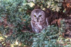 Northern Saw-whet Owl, close up royalty free stock image