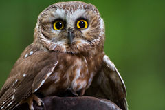 Northern saw-whet owl. A closeup of a northern saw-whet owl Royalty Free Stock Photos