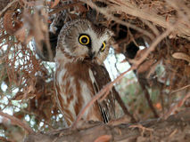 Northern Saw-whet Owl Hiding in Daytime Royalty Free Stock Image