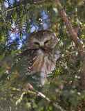 Northern Saw-whet Owl Royalty Free Stock Photo