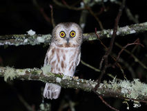 Northern Saw-whet Owl at Night Stock Photography
