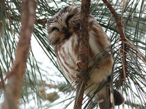 Northern Saw-whet Owl in Pine Tree Royalty Free Stock Photography