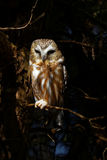 Northern Saw Whet Owl In Tree. Northern Saw Whet Owl perched in a tree with the sun shining Royalty Free Stock Photos