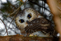 Northern Saw-whet Owl in a Tree Stock Photo
