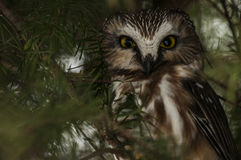 Small Owl royalty free stock photography