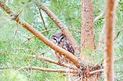 Northern Saw-whet Owl in the wild Royalty Free Stock Photography