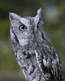 Northern Screech Owl. The gray morph of the Northern Screech Owl Royalty Free Stock Images