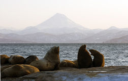 Northern Sea-lion. Royalty Free Stock Photos