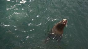 Northern Sea Lion Or Steller Sea Lion Eumetopias Jubatus Swims In Sea Royalty Free Stock Image